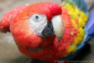Scarlet macaw rescued at Refuge for wildlife