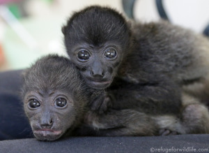 Two orphaned baby howler monkeys, Huber and Lucy