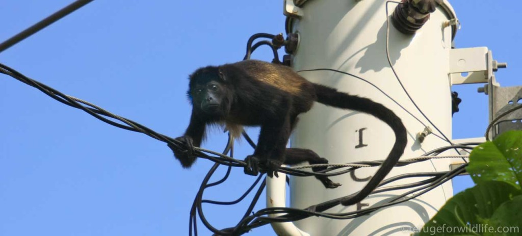 howler monkey climbing on dangerous power lines
