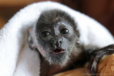 electrocuted infant howler monkey
