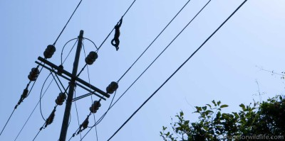 dead howler monkey on uninsulated power lines