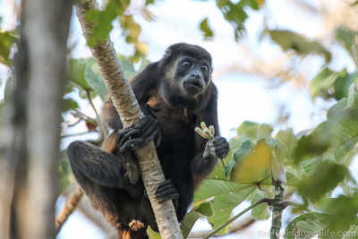 wild howler monkey eating