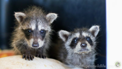two orphaned raccoons