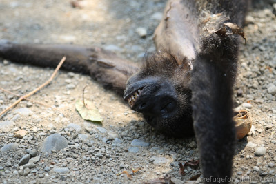 a dead howler monkey that was electrocuted