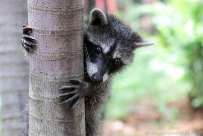 infant raccoon climbing tree