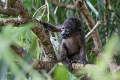 an orphaned infant howler monkey climbing in a tree at Refuge for Wildlife