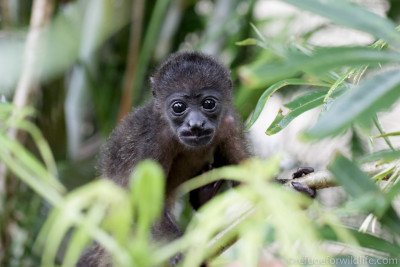 infant howler monkey in trees
