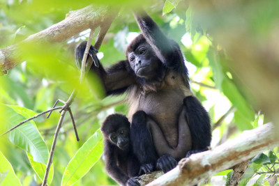 A mother and infant howler monkey snuggling together in a tree