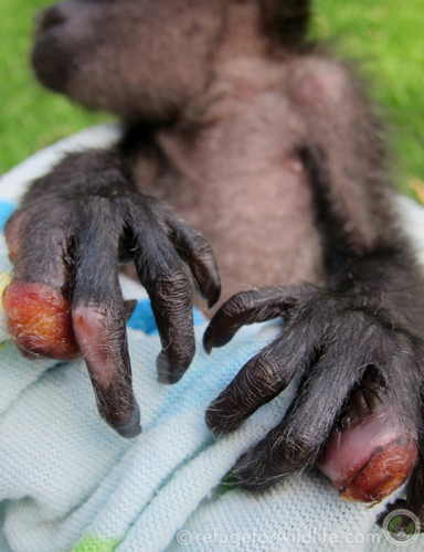 electrocuted infant howler monkey with burns on her hands