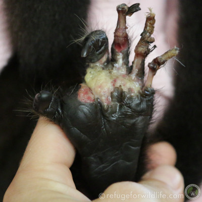 After being electrocuted, this infant howler tried to self-amputate rotted flesh from her foot. The three toes were amputated a few days later.
