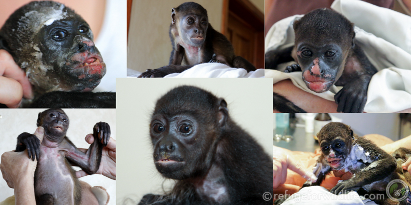 Joseph was electrocuted and caught on fire. He had severe burns on most of his body and had a lightning bolt scar across his chest. After several months of pain medication and burn cream, Joseph was back to being a normal, healthy monkey.