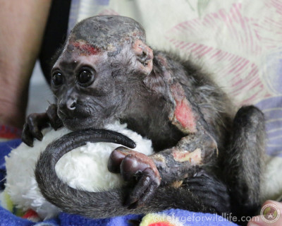 Infant howler with severe electrical burns to more than 80 percent of his body. He did not survive.