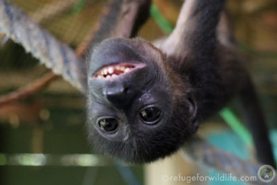 Howler monkey smiling at Refuge for Wildlife
