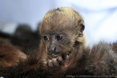 infant howler monkey