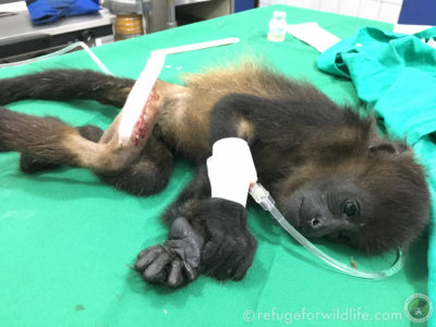 Infant howler monkey during orthopaedic surgery