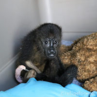 infant howler monkey after surgery with intramedullary pins