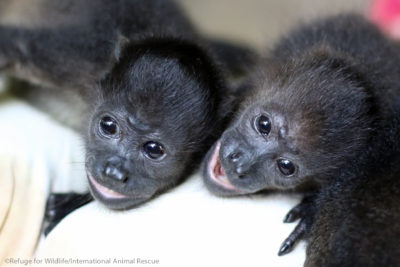 two orphaned infant howler monkeys