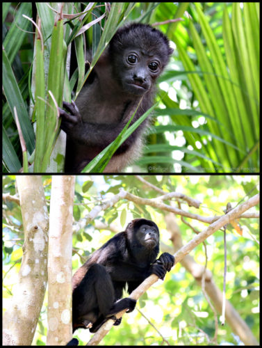 howler monkey baby and adult in jungle