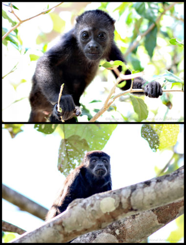 howler monkey baby and adult in junge