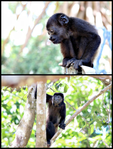 howler monkey infant and adult released